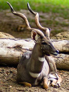 *Male Lesser Kudu