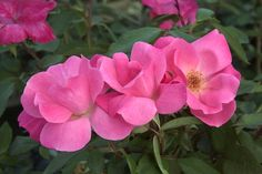 Pink Knock Out® Rose - Monrovia - A maintenance free rose that continually produces self cleaning single medium pink flowers. Unsurpassed resistance to black spot leaf disease. An excellent low hedge or accent. Deciduous.  To keep the flowers coming feed your roses with a fertilizer blended especially for roses after each bloom cycle.  There is no need to remove faded flowers because these roses are self cleaning
