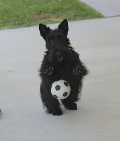 My Scotties would play soccer in the back yard! Reminds me of Mollie and Corky