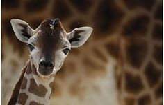 Nine day old female Rothschild giraffe at Knies Kinderzoo in Rapperswill, Switzerland - photo: Reuters