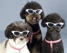 Poodles with catseye sunnies! Well, french poodles ARE the most fashion forward animals, are they not?