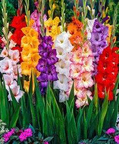 Large-Flowered Gladioli Mix | Flower Bulbs from Bakker Spalding Garden Company...In spring, plant the large-flowered gladioli corms about 7-10 cm deep. Prepare a suitable hole in good, loose soil and sprinkle the bottom of the hole with a layer of sharp sand so that rainwater can drain well below the corms as gladioli prefer rich, well-drained soil. Plant the corms about 10-12 cm apart from each other. Improve your garden soil by adding compost. During the winter apply some lime to the…