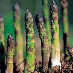 Gardener's Supply -- How do you grow asparagus? Learn how to plant asparagus. Once established, an asparagus bed will produce for 25 years or more.
