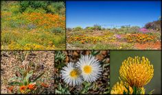 Every year, starting in Winter and heading into Spring, the Southern African Cape becomes riotous with colour for the greatest wild flower show on earth.We were late to visit this year so missed the height of the displays but definitely didn't miss out. African Flowers, Flower Show, In The Heights, Wild Flowers, Planting Flowers, Vineyard, Southern, Earth, Spring