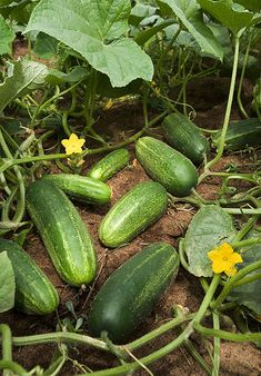 Gardening 101, How To Grow Cucumbers etc. Need to pin this since my cucumbers are horrible this year!