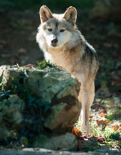 Male Mexican Wolf. He is beautiful!