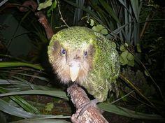 The green  Kakapo