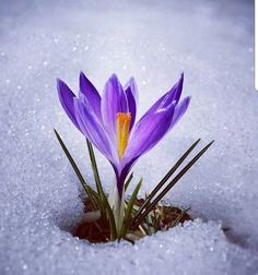 Just like soulfully blossoming. It is often in the soft quiet moments with no witnesses. But oh when the beauty that comes out emerges from it. Winter Flowers, Flowers Nature, Beautiful Gif, Beautiful Pictures, Saffron Flower, Snow Flower, Winter Magic, Flower Pictures, Winter Garden