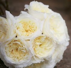 "A Creamy Variety - ""Patience""; Patience (Auspastor) is a delightful buttermilk rose with ruffled petals, reminiscent of fine lace."