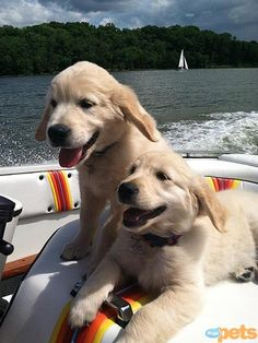 So now the twins are so comfy on boats. They are good swimmers, very protective of their people and love their jobs...............