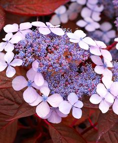 Hortensia 'Indian Summer'