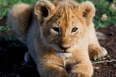 O vale do Serengeti é habitat de dezenas de espécies de mamíferos, como guepardos, impalas, antílopes, gnus, zebras e leões, como esse pequeno filhote