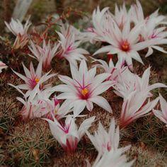 Mammillaria fraileana Pichilingue
