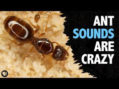 What sound does an ant make? The answer is pretty interesting and it turns out a beetle has figured out how ants communicate for its own nefarious purposes. Science Tumblr, Science For Kids, Ants, Grade 1, Beetle, Internet, Watch, Amazing, Pretty