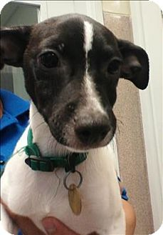 Oakland, CA - Terrier (Unknown Type, Medium)/Chihuahua Mix. Meet Porter, a puppy for adoption. http://www.adoptapet.com/pet/11649764-oakland-california-terrier-unknown-type-medium-mix