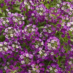 New for 2015 Dark Knight™ - Sweet Alyssum - Lobularia hybrid-rebloomer, fragrant, Masses of fragrant flowers grace mounded plants. Unlike most alyssum this one will bloom all summer, even in hot climates. Attracts Bees and butterflies