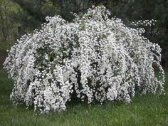 Shop Now Bridal Wreath Spirea is a shrub that produces small white blooms in clusters. This bush reaches about feet at mature height This is one of the loveliest flowering shrubs available in America. Plant in Fall or Spring. Spirea Shrub, Flowering Bushes, Trees And Shrubs, Small Shrubs, Exotic Flowers, Beautiful Flowers, Purple Flowers, Spring Flowers, Places