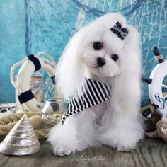 Maltese and Children: Is It a Good Combination - Champion Dogs Teacup Puppies, Cute Puppies, Cute Dogs, Dogs And Puppies, Teacup Maltese, Doggies, Animals And Pets, Cute Animals, Maltese Dogs