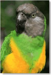 Senegal parrot Looks just like my Bree! Exotic Birds, Colorful Birds, Parakeet Names, Cockatiel, Parakeets, Best Pet Birds, Senegal Parrot, Parrot Bird, Conure