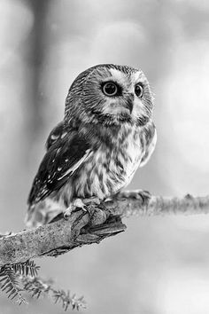 A lot of people think that this is a baby owl, but it is actually an adult. It's just a small species.: