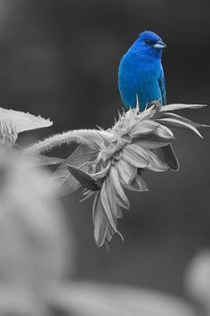 colorsplash.quenalbertini: Splash of blue