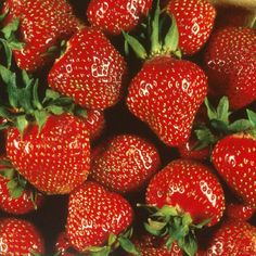 Quinalt Everbearing Strawberry 50 Bare Root Plants - Huge Fruit Size for sale online Everbearing Strawberries, Growing Raspberries, Strawberry Plants, Strawberry Varieties, Strawberries Garden, Growing Succulents, Beautiful Fruits, Seasonal Allergies, Patio