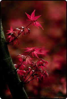 """chasingrainbowsforever: """" chasingrainbowsforever: """" Maple Leaves """" ChasingRainbowsForever ~ Rewind and Remix Fall Foliage """" Autumn Day, Autumn Trees, Autumn Leaves, Maple Leaves, Red Leaves, Terre Nature, Cactus E Suculentas, All Nature, Shades Of Red"""