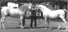 Galero and Uzacur, two stallions of the Yeguada Militar in Spain