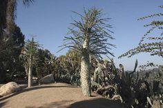 Boojum tree - succulent