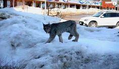 An Ontario, Canada, Woman has a rare encounter with a lynx and photographed it. Brampton. Canada | У канадській провінції Онтаріо жінка на вулиці міста несподівано зустріла лісову рись, і навіть встигла її сфотографувати. Брамптон. Канада
