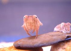 it may be weird, but cuttlefish are super fricken cute. @Krystle Hein make paul get these