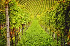 Green, green vineyard, Remigen, Canton of Aargau, Switzerland by ceca67, via Flickr