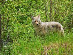 Coyote in Cherryville, BC