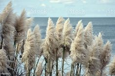 New Zealand Flora - 'Toitoi' or 'Toetoe' Grass New Zealand Flora - 'Toitoi' or 'Toetoe' Grass against a coastal background.New Zealand's plant life is to Kiwis, something that is iconically New Zealand. Many of these plants native environments are indigenous only to New Zealand/ Aotearoa. Autumn Stock Photo Ge Image, Image Now, Royalty Free Images, Royalty Free Stock Photos, Closer To Nature, Fall Photos, Medicinal Plants, Photo Illustration, Botany