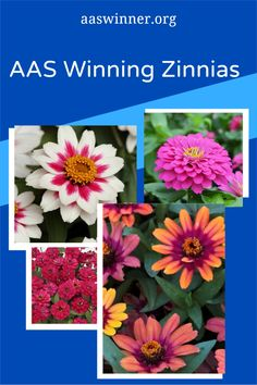 AAS Winning Zinnias are the perfect addition to your containers and garden. With a variety of forms, height and color that is one that is perfect for you! Natural Ecosystem, Zinnias, Beautiful Flowers, The Selection, Home And Garden, Landscape, Nature, Plants, Color