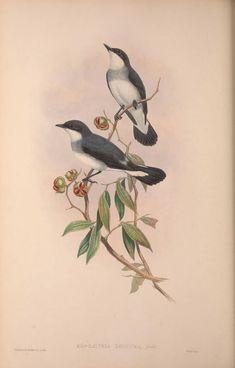 The birds of Australia, supplement - Biodiversity Heritage Library