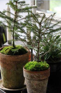 trees in mossy pots
