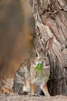 Desert cottontail rabbit (sylvilagus audubonii), Hidalgo, Texas