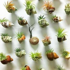 Air plants decor - 12 Best Amazing Air Plant Display Ideas to Add Uniqueness to Your Home Air Plant Display, Plant Decor, Succulent Display, Succulent Terrarium, Succulent Wall, Terrarium Wedding, Succulent Ideas, Plant Wall, Hanging Plants