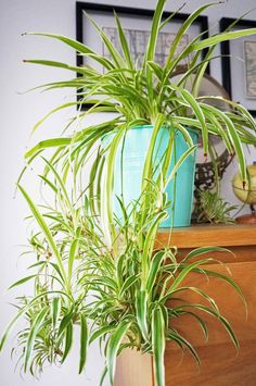 Home Grown Air Purifying House Spider Plant - Ada's Attic Vintage - 6