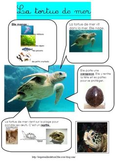 La tortue de mer carte d'identité Preschool Science, Life Science, Montessori, File Folder Activities, French Education, French Classroom, Teaching French, Home Schooling, Learn French