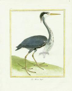 - high resolution image from old book. Vintage Bird Illustration, Bird Artists, Grey Heron, Watercolor Bird, Vintage Birds, Natural History, Hand Coloring, Prints, Animals