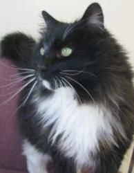 Behemoth is an adoptable Domestic Long Hair-Black And White Cat in Potsdam, NY. Behemoth came to the Potsdam Humane Society as a stray. We are estimating him around 4 years of age. He was already neut...