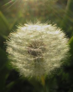 Dandelions are one of my favorite models! And one of the most medicinal foods on the Earth! Every part of the dandelion is useful and I would say, delicious!