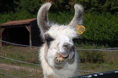 llamas making funny faces | Funny Llama Face