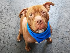 """SAFE 4/27/2015 by Camp Papillion Rescue   --- TO BE DESTROYED 4/27/2015 Manhattan Center ANIMAL – A1025936 *** RETURNED ON 04/12/15 – """"PERSONAL PROBLEMS ***  NEUTERED MALE, BROWN / WHITE, DOGUE DE BORDX MIX, 3 yrs OWNER SUR – ONHOLDHERE, HOLD FOR ID Reason PERS PROB Intake condition EXAM REQ Intake Date 04/12/2015"""