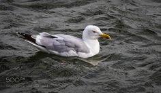 Herring gull by neupeters