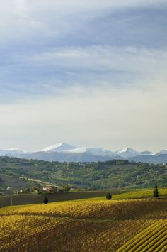 Marche's Vineyards - Italy