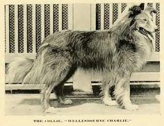 1890 Rough Collie