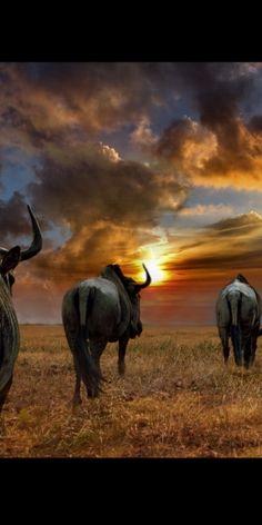 Wildebeest of Africa... beautiful sky
